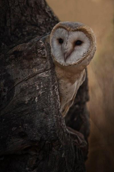 Lechuza común. Òliba (moisa). Barn Owl. Tyto alba.