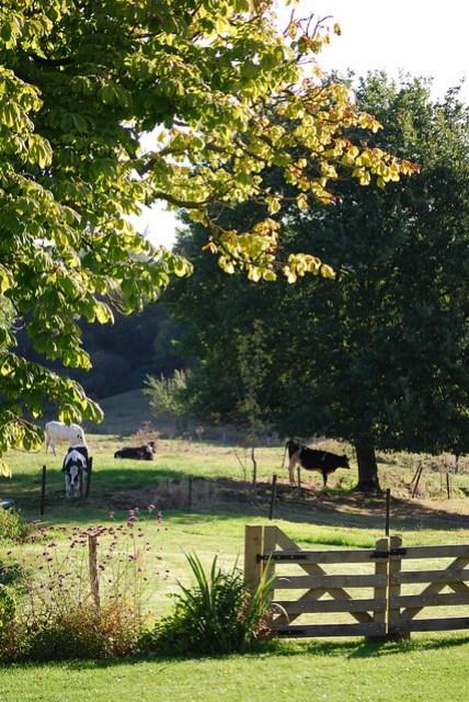 Koeien in de wei naast boerderij