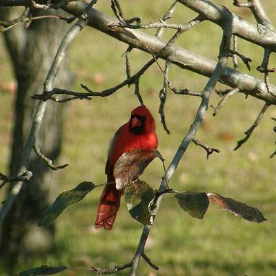 Cardinal 12