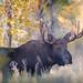 Bull Moose in the Tetons
