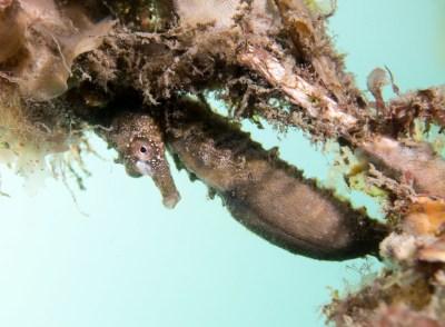 Peeking through the net - H whitei #marineexplorer #underwatersydney