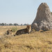 Termite hill with Lions - Panthera Leo