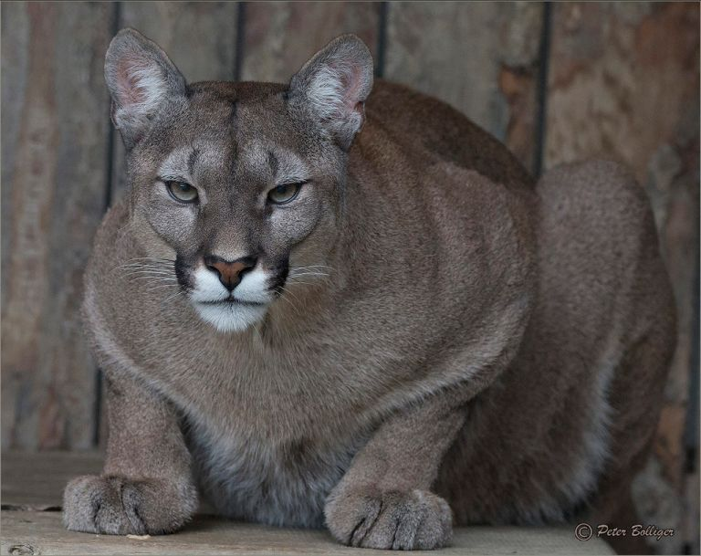 Fully focused cougar