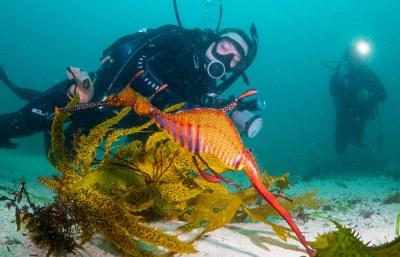 Mr Popular - Weedy seadragon Phyllopteryx taeniolatus #marineexplorer #underwatersydney