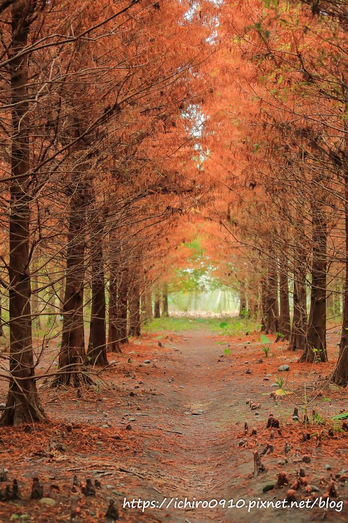 雲林|林內鄉九芎村落羽松,季節限定景色,紅黃綠漸層美感,濃濃秋意超浪漫 - 輕旅行