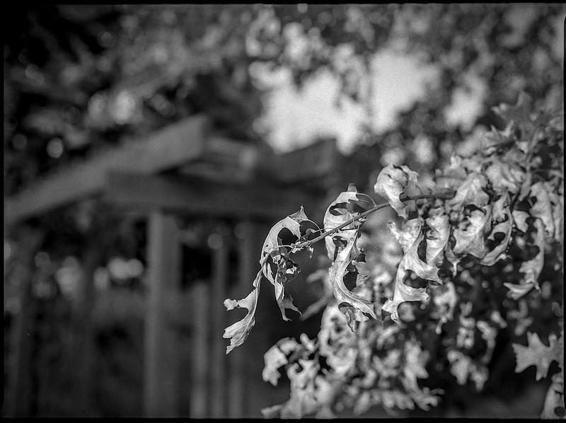 autumn leaves, brown, dried, entrance gate, yard, Bue Ridge Avenue, Asheville, North Carolina, Mamiya 645 Pro, mamiya sekor 80mm f-2.8, Kodak Tri-X 400, HC-110 developer, 11.17.19 (1 of 1)