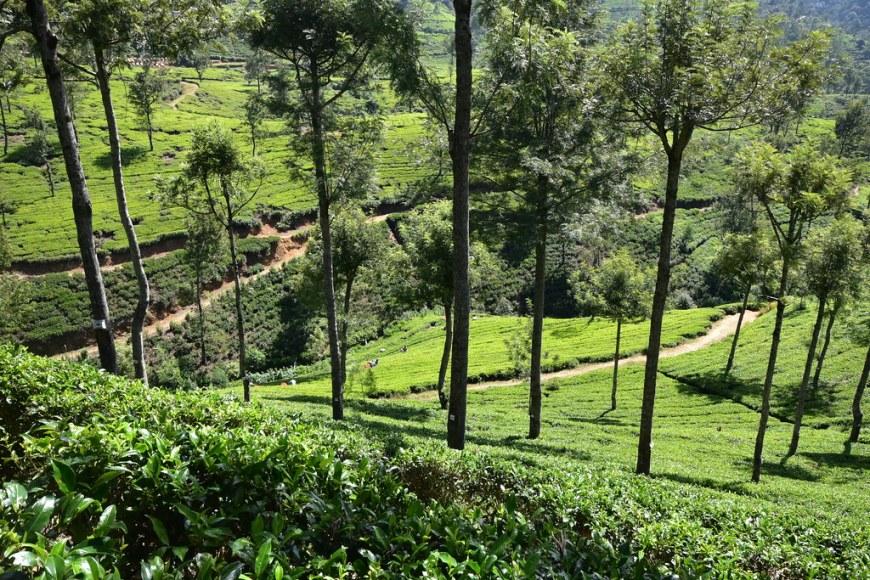 Tea Fields at Pedro Estate