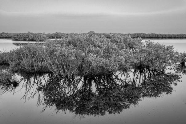 Mangrove Mirror 2