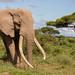 Bull Elephant - Loxidonta africana