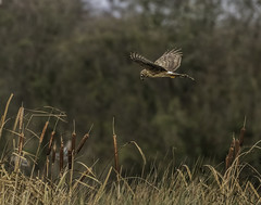 ringtail Hen Harrier