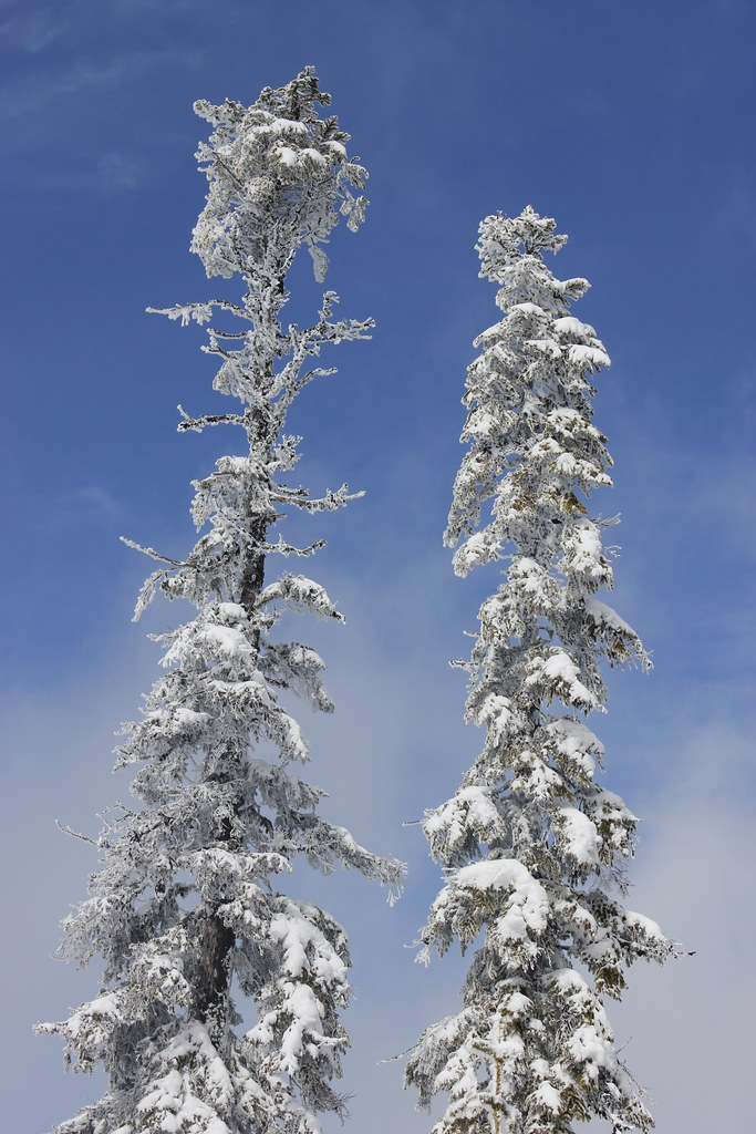 Snow-bound trees in Willamette Pass on the Willamette National Forest