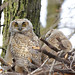 Great Horned Owlet...#4