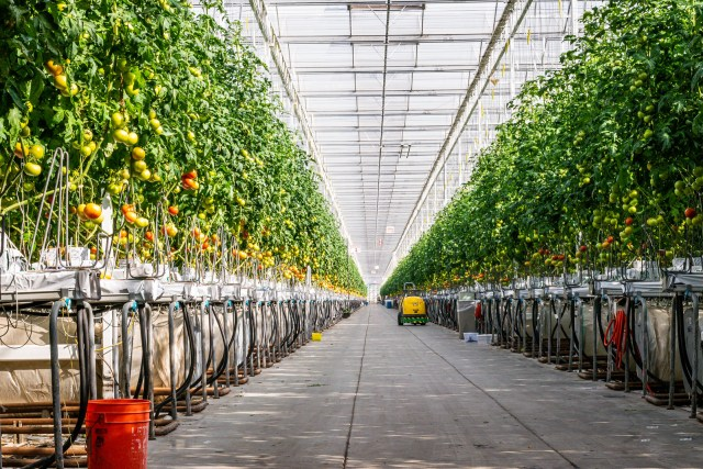inside the high-tech greenhouse at Houweling's Tomatoes