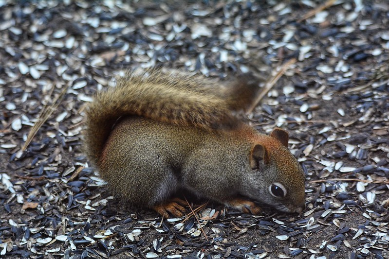 Red squirrel at Indiana Dunes State Park