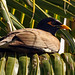 Myna in the Palms