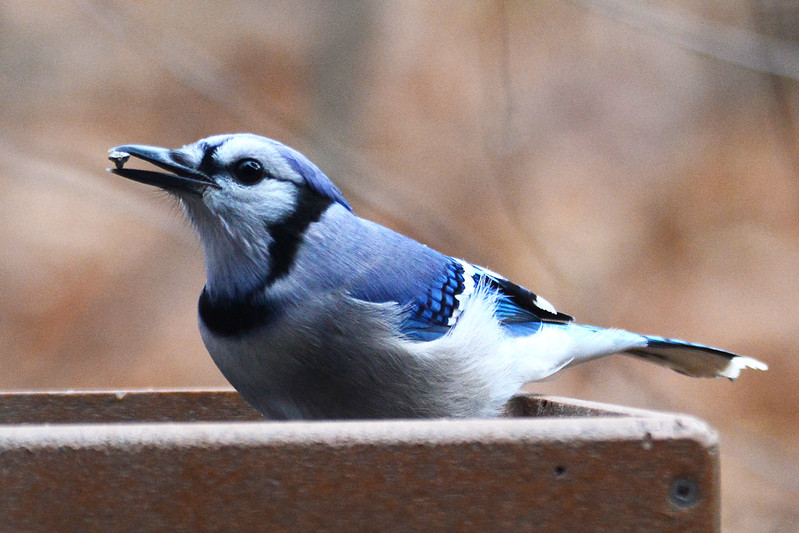 Blue jay at Indiana Dunes State Park Nature Center