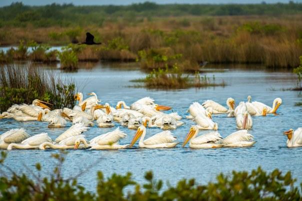 White Pelican Pod