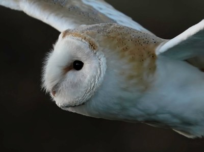 Barn Owl (wild)