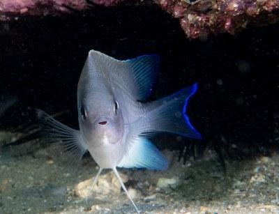 Mecaenichthys immaculatus - Immaculate damsel #marineexplorer #underwatersydney