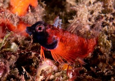 Pretty boy - Enneapterygius atrogulare - Black-throat triplefin #marineexplorer #underwatersydney