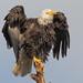 Eagle on a Snag