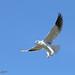 Elanus caeruleus | Elanion blanc | Black-shouldered Kite | Elanio Común | Gleitaar