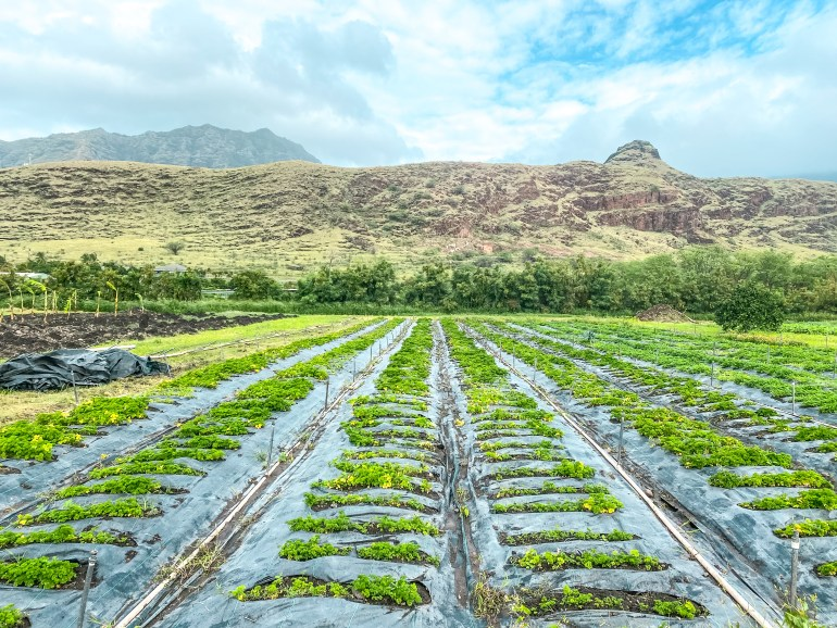 Ma'o Organic Farms - Waianae, Hawaii - Foodland Partner