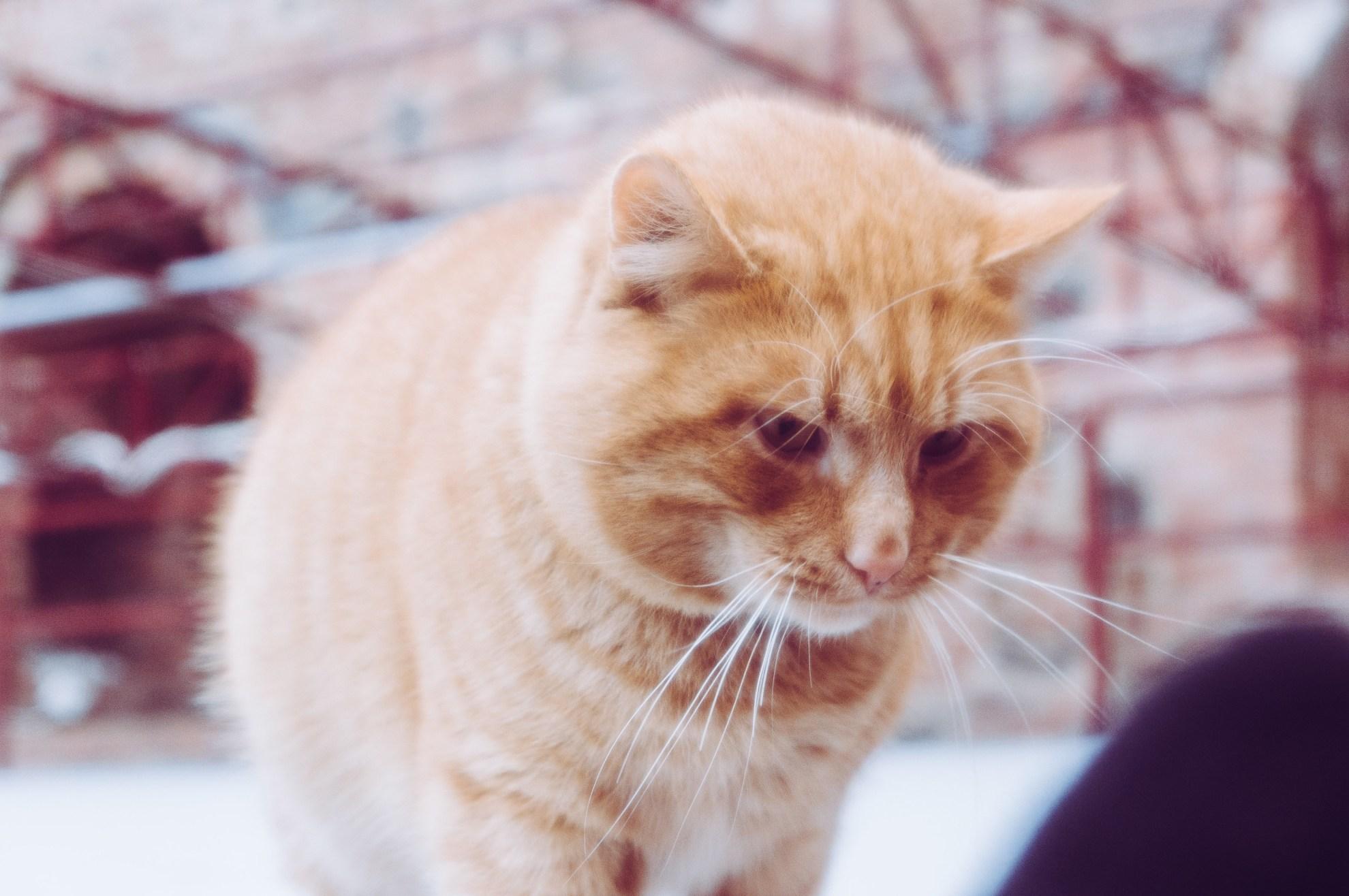 Мирской кот