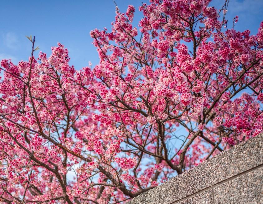 平菁街櫻花。花期/ 櫻花種類