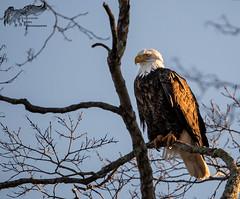 Bald Eagle 1_20