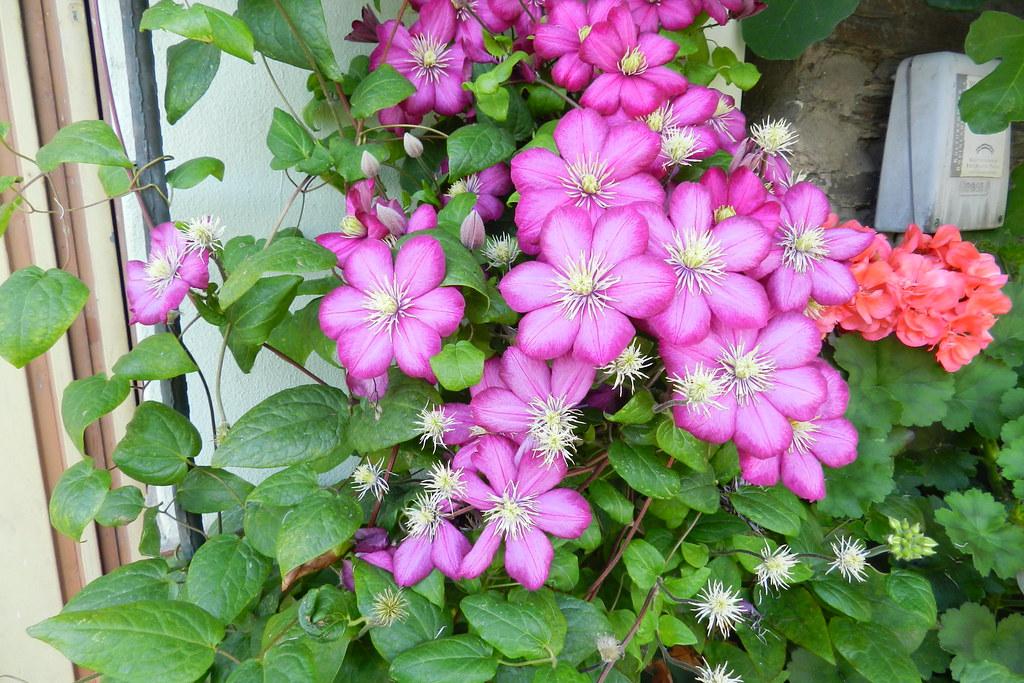 Flor violeta en el sendero Dorschied a Lorch Valle del Rin Alemania 01