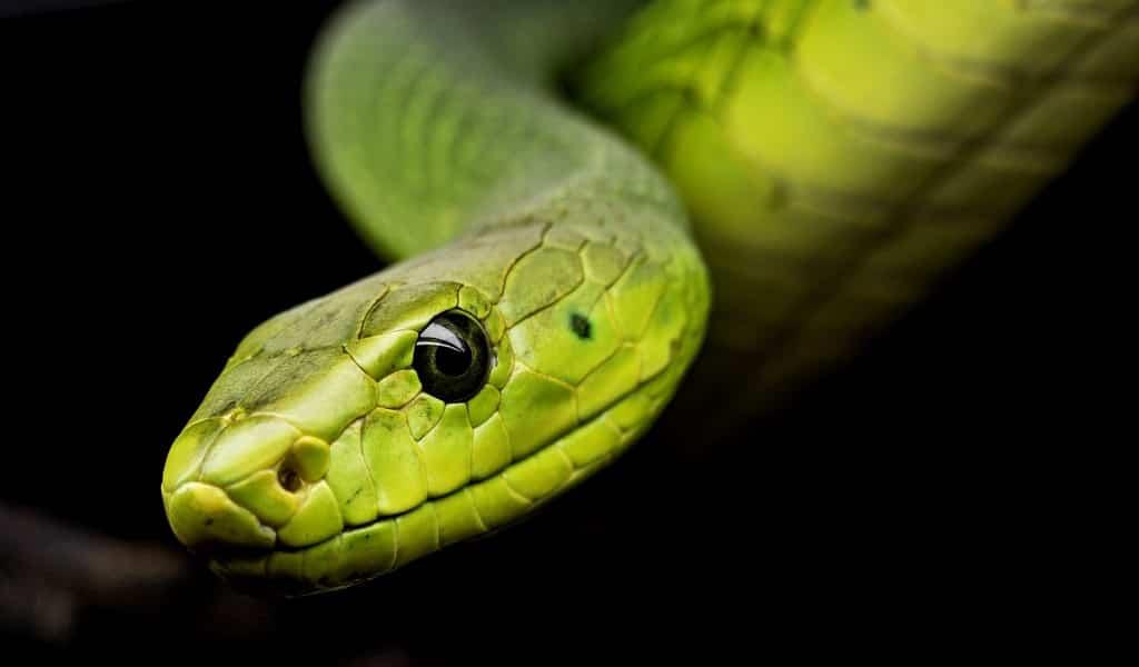 utiliser-du-venin-de-serpent-comme-médicament