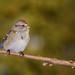 Bruant hudsonien/American tree sparrow