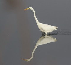 Great Whte Egret