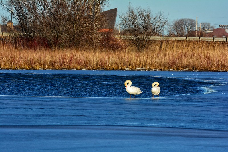 Eurasian mute swans at Wolf Lake