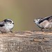 Pair of long tailed tits