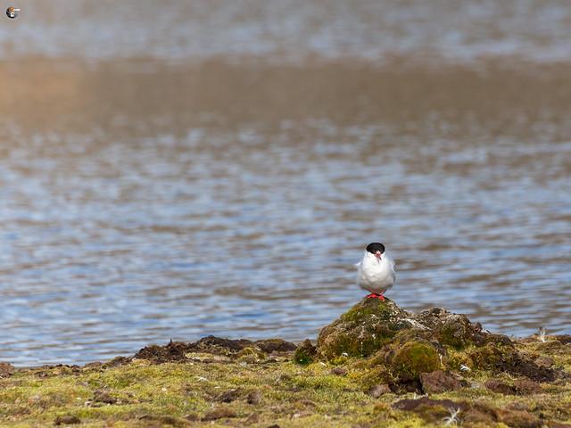 Arctic tern / Küstenseeschwalbe