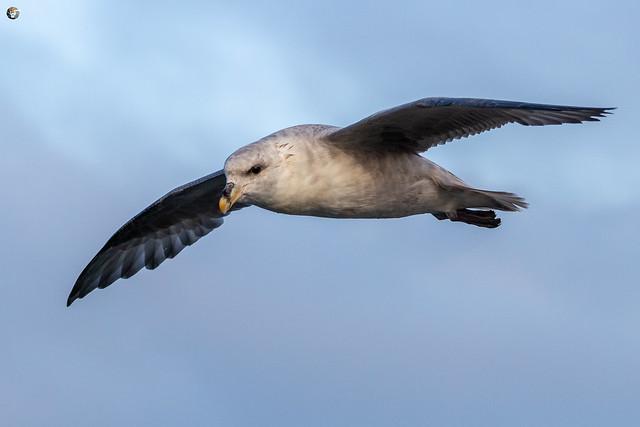 Studying the flying of Northern fulmar (Eissturmvogel / Fulmarus glacialis)