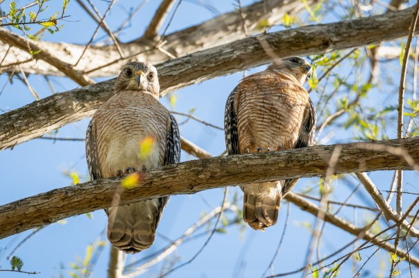 Fakahatchee Strand - Red-shouldered Hawk Pair