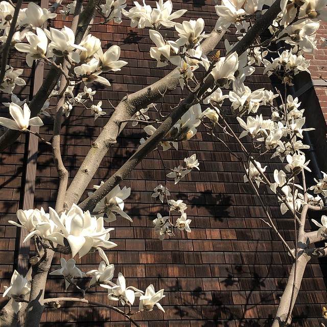 Early White Magnolia