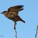 Sturnus vulgaris   Etourneau sansonnet   Common Starling   Estornino Pinto   Star