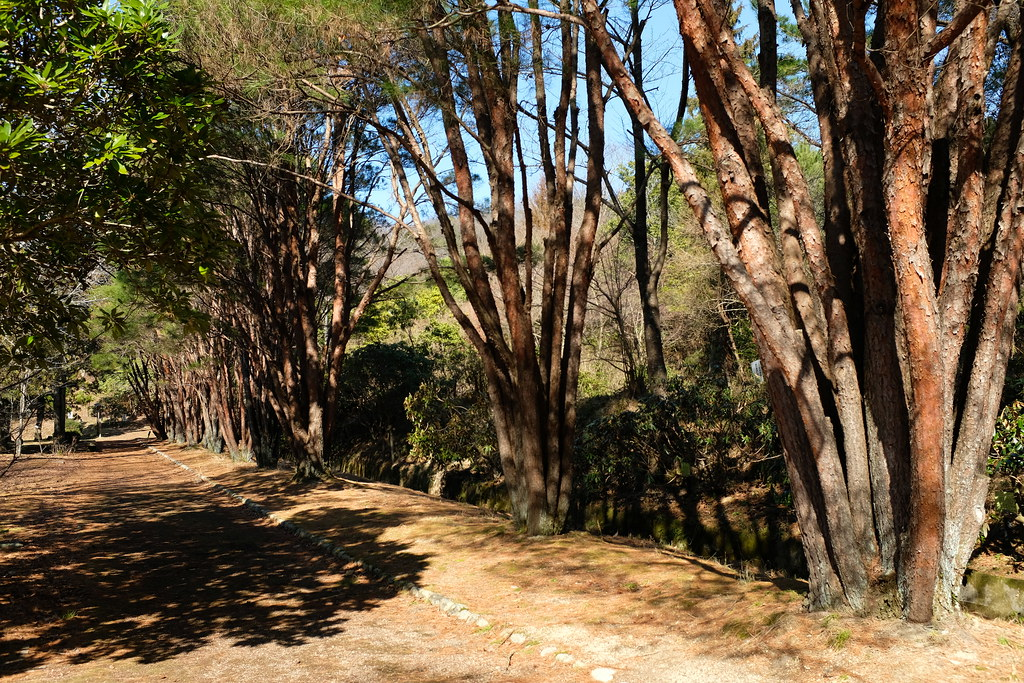 Red pine grove at the Omifuji Botanical Gardens