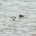 Marsh Sandpiper with Sharp-tailed Sandpiper 1DX42390.jpg