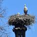 White stork nest