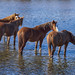 Wild horses of Salt River, Arizona
