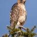 Red-tailed Hawk, Lavington, BC.