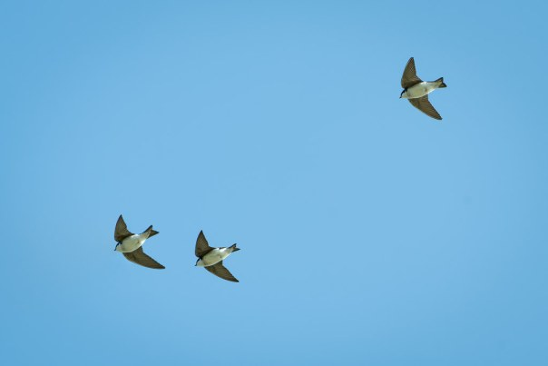 Tree Swallow Trio
