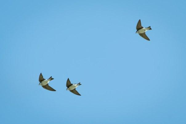 Tree Swallow Trio