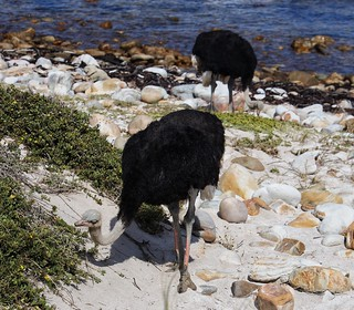 Ostriches still on the beach, Cape of Good Hope