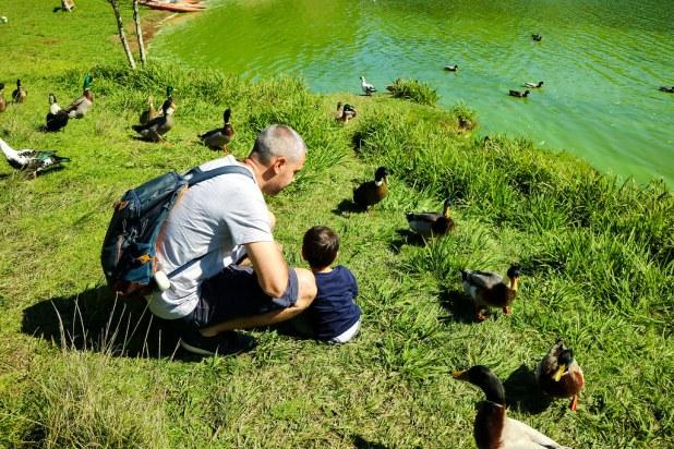 Patos a las orillas de Lagoa das Furnas en Sao Miguel